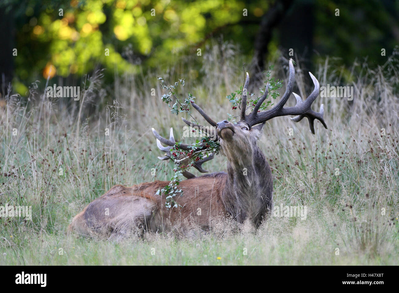 Red deer, grass, lie, antlers, branches, - Stock Image