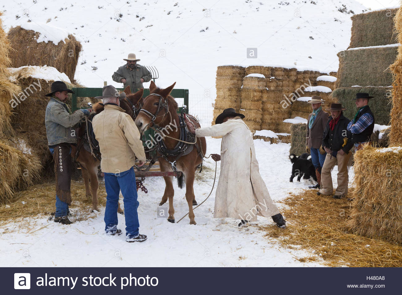cowboys preparing a mule to draw a carriage stock photo 123107104
