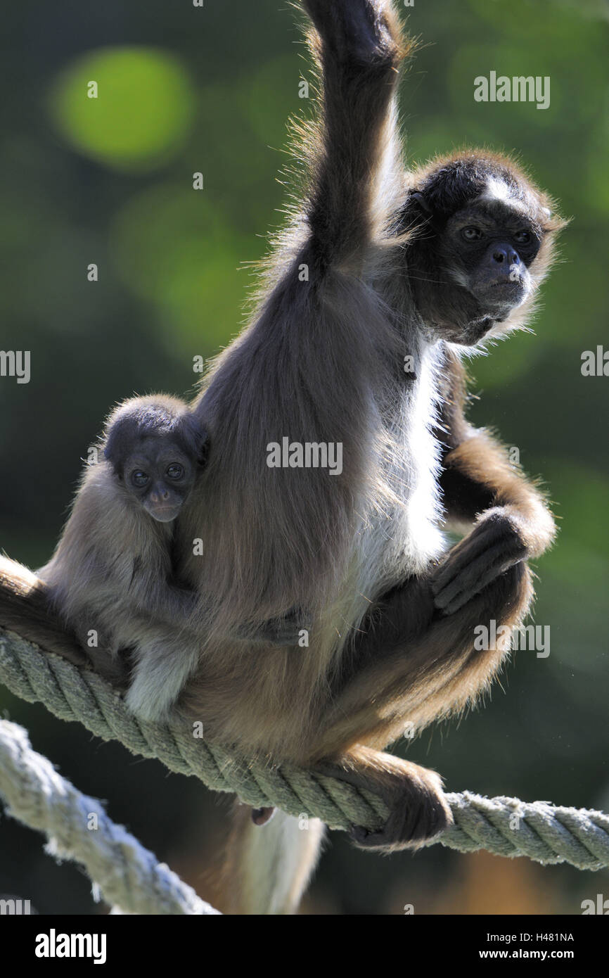 Monkey With Stick Stock Photos Monkey With Stick Stock Images