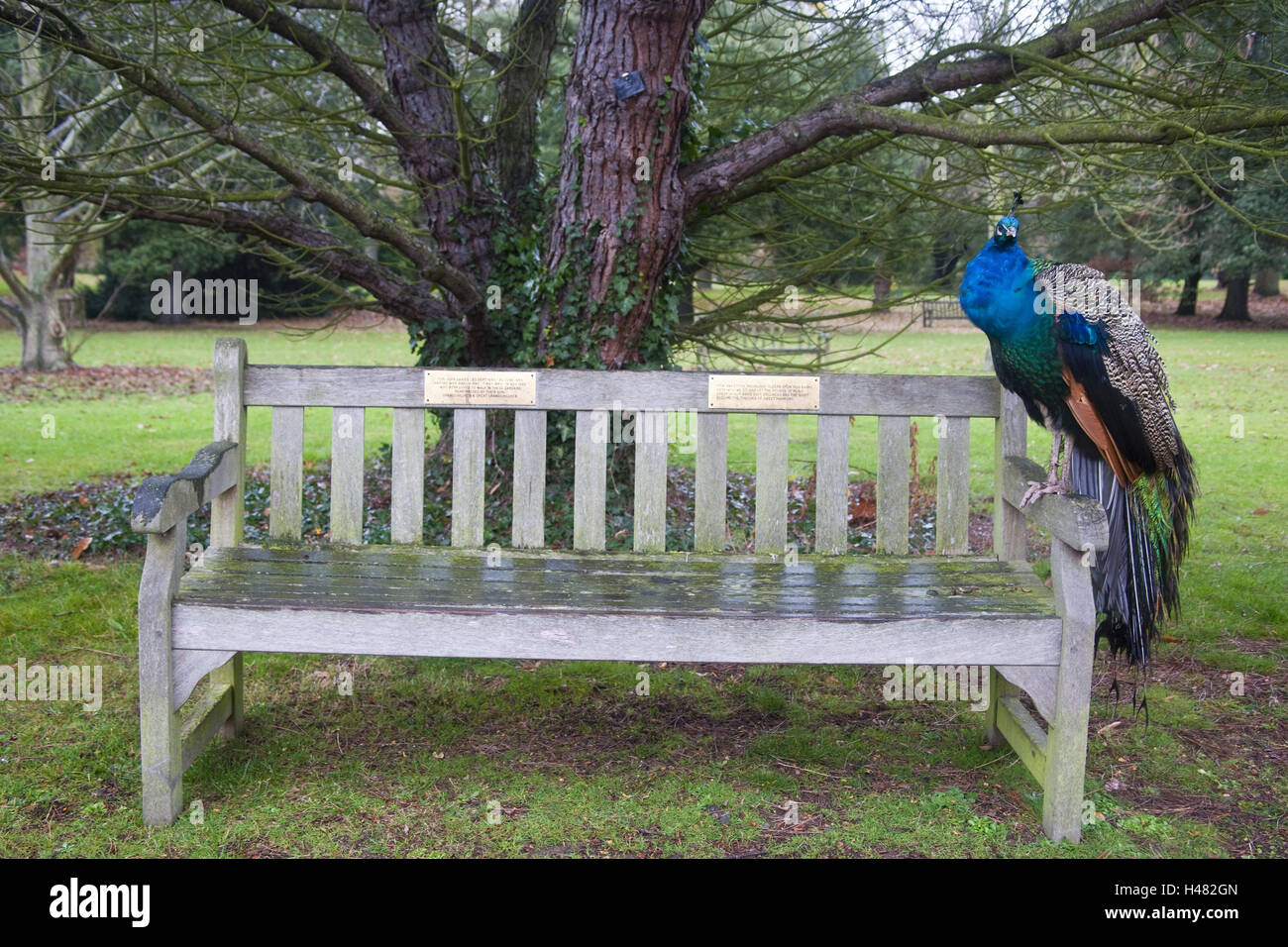 wooden bank, peacock, sit, animal, gallinaceous birds, feathers, brightly, nature, outside, park, little man, Phasianidae, - Stock Image