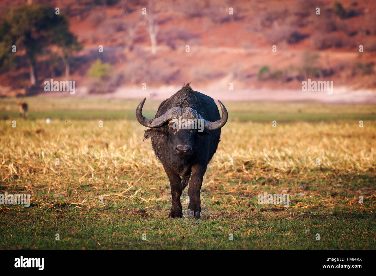 Buffalo in the Chobe National Park in Botswana, Africa; Concept for travel in Africa and Safari Stock Photo