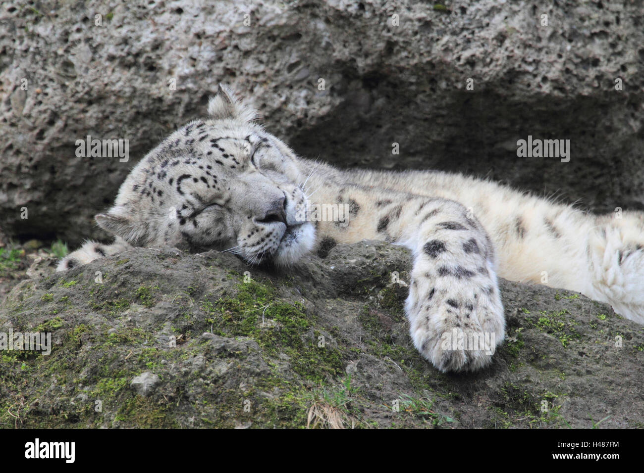 Snow leopard, sleeps, - Stock Image
