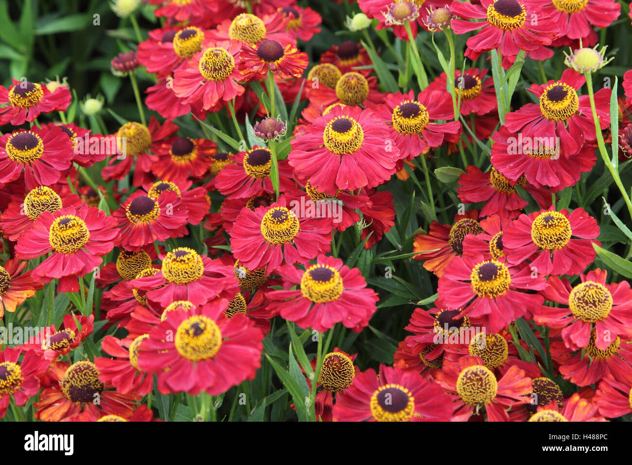 Solar bride, blossoms, landscape format, plant, flower, garden, blossom, composites, pink, Helenium, - Stock Image