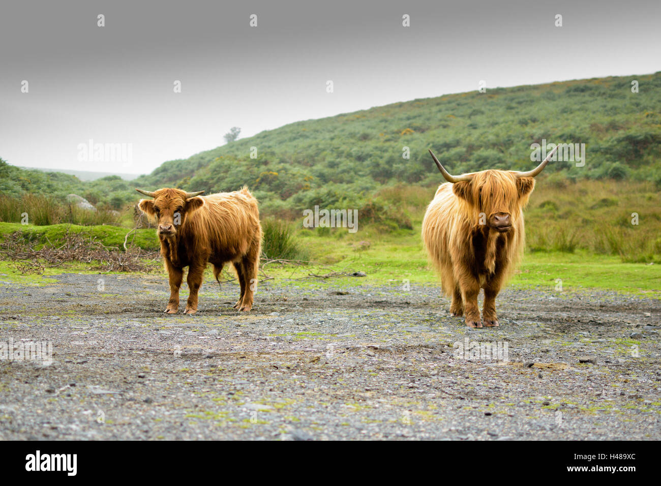 Highland Cattle Autumn Scotland Stock Photos & Highland