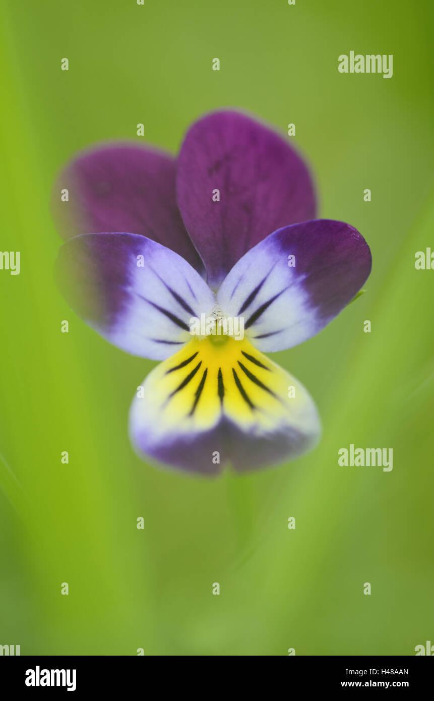 Wild pansy, viola tricolour, medium close-up, - Stock Image
