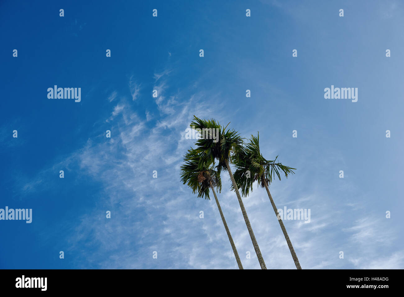 A clump of three betel nut trees against a blue sky with clouds - Stock Image