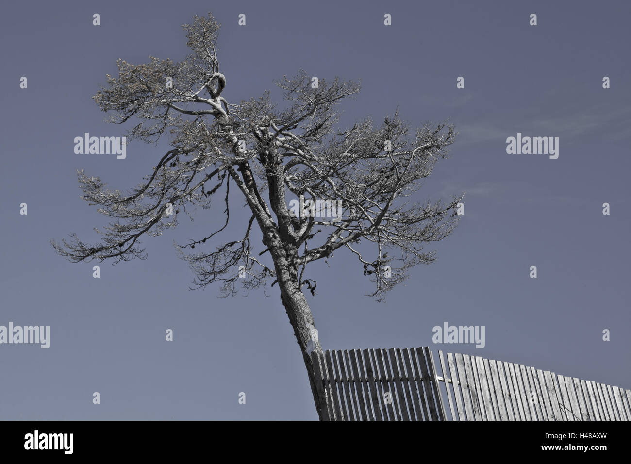 crooked tree beside paling, - Stock Image
