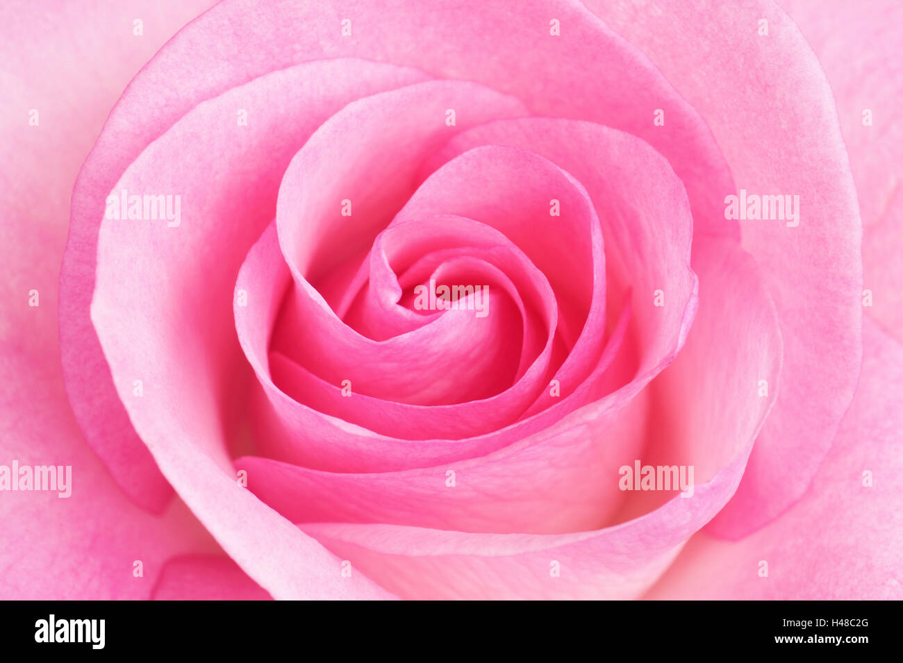 Rose blossom, pink, close up, - Stock Image