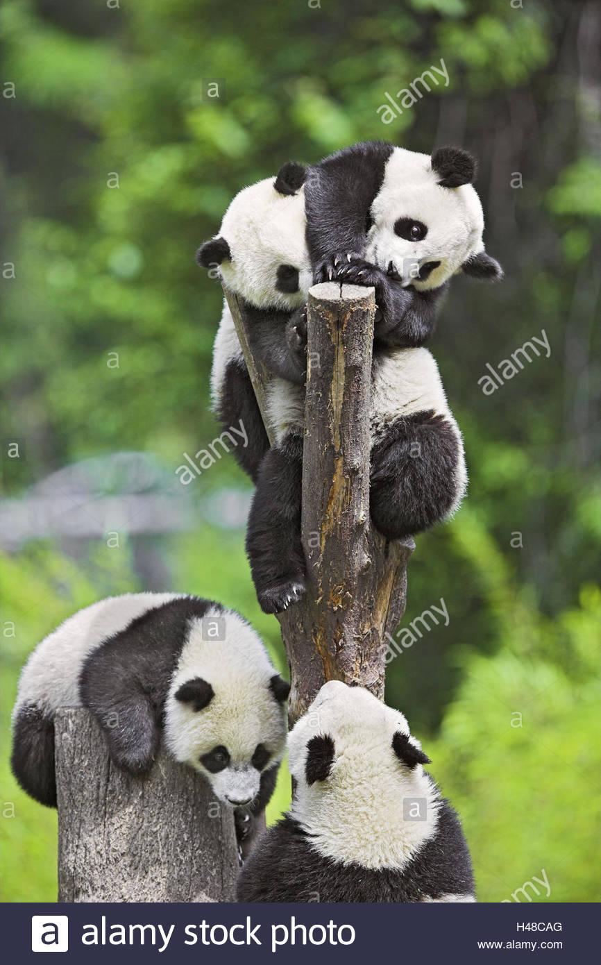 Pandas, 'of big pandas', Ailuropoda melanoleuca, trunk, - Stock Image