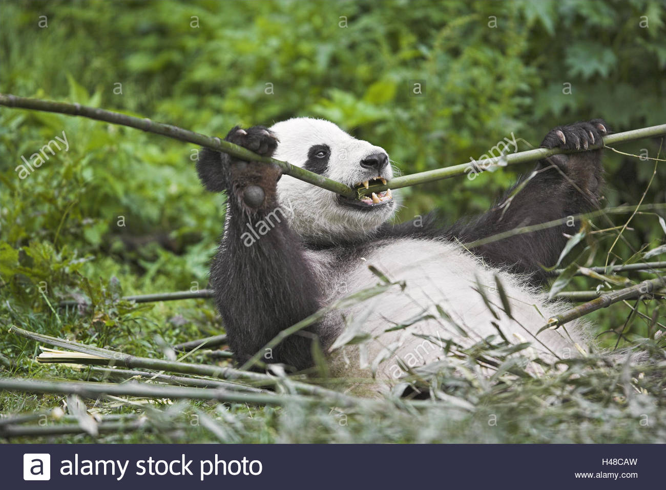 Panda, 'of big pandas', Ailuropoda melanoleuca, eat, - Stock Image