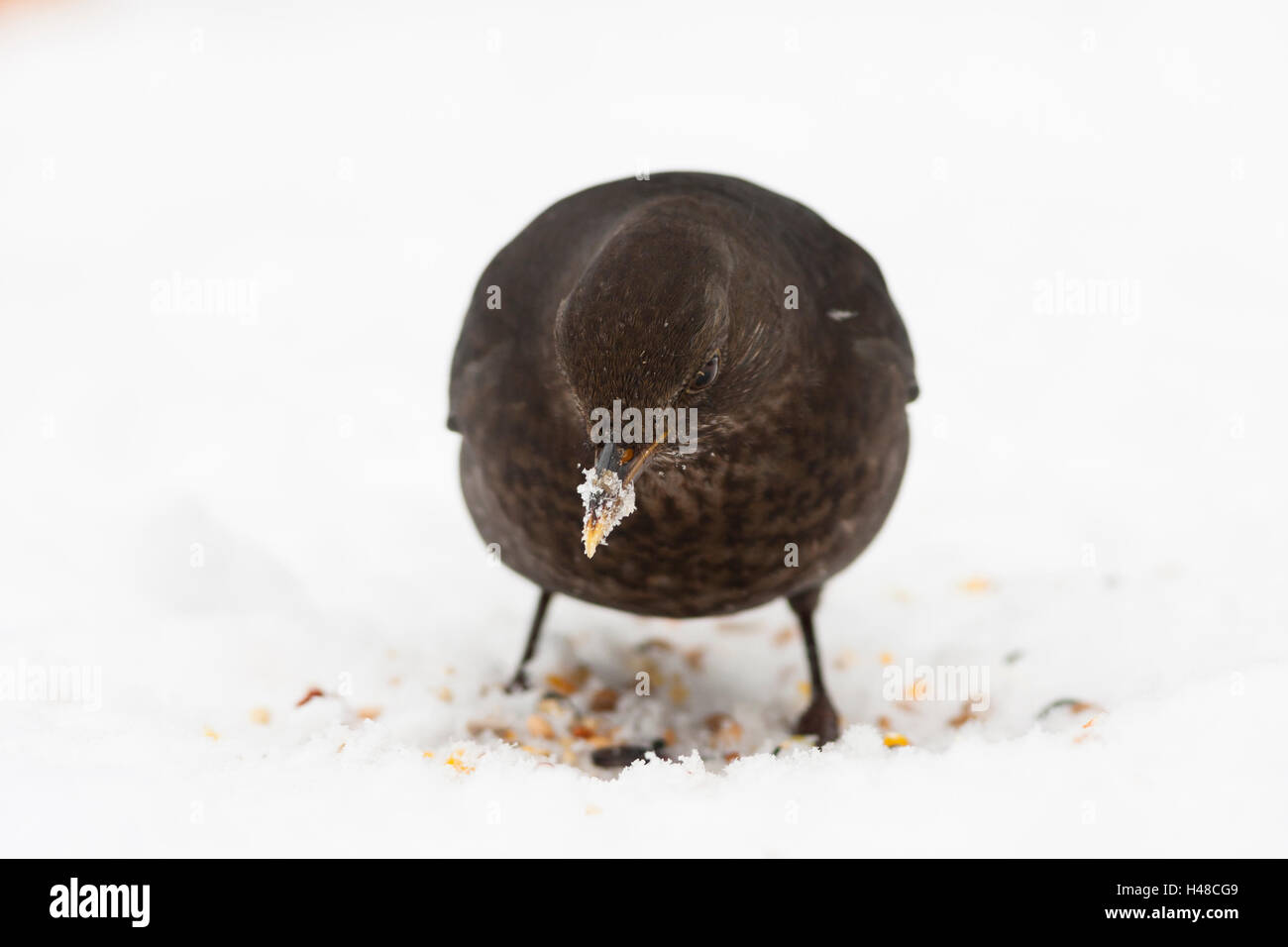 blackbird female in snow with ice on bill - Stock Image