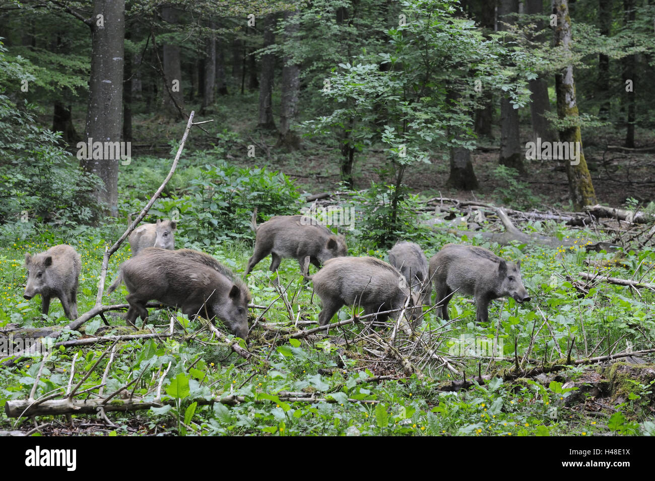 boars, Sus scrofa, search for food, - Stock Image