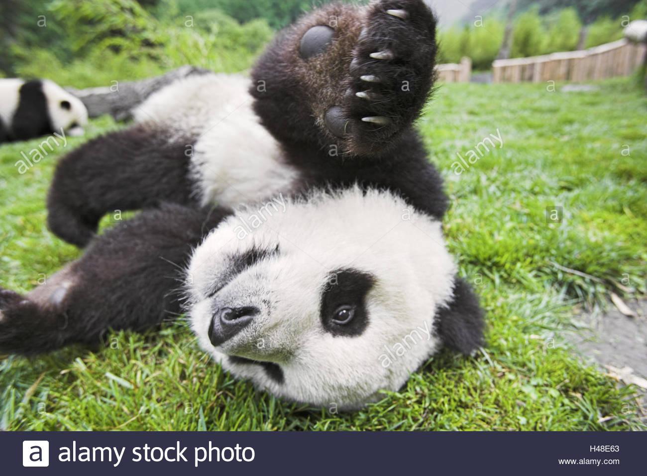 Panda, 'of big pandas', Ailuropoda melanoleuca, - Stock Image