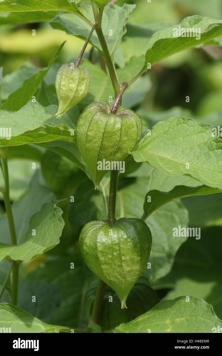 Lampion flower, stalk, leaves, calyxes, green, - Stock Image