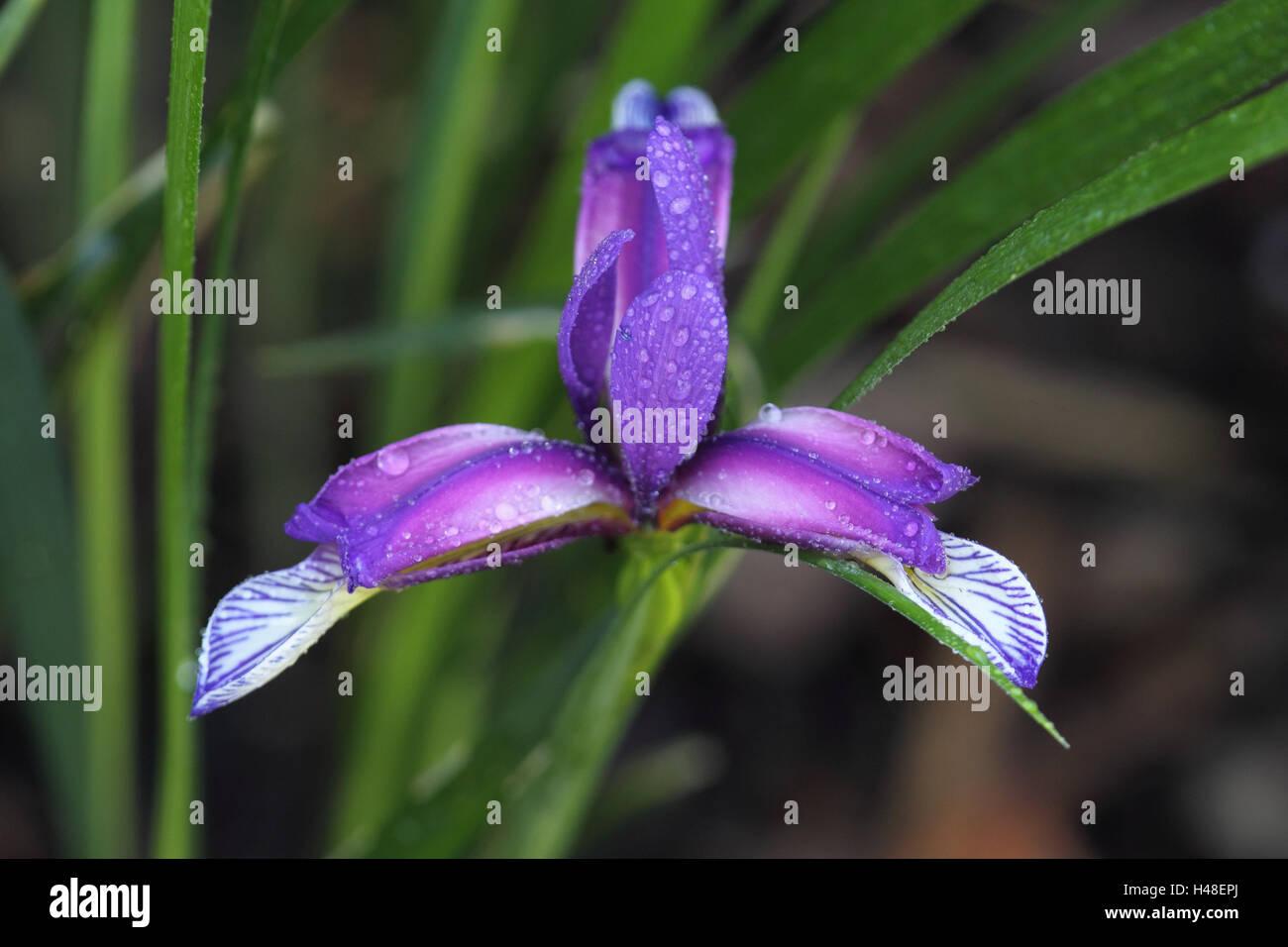 Crossbreed iris, blossom, flower, blossom, mauve, dewdrops, drops water, freshness, landscape format, plant, iris, - Stock Image