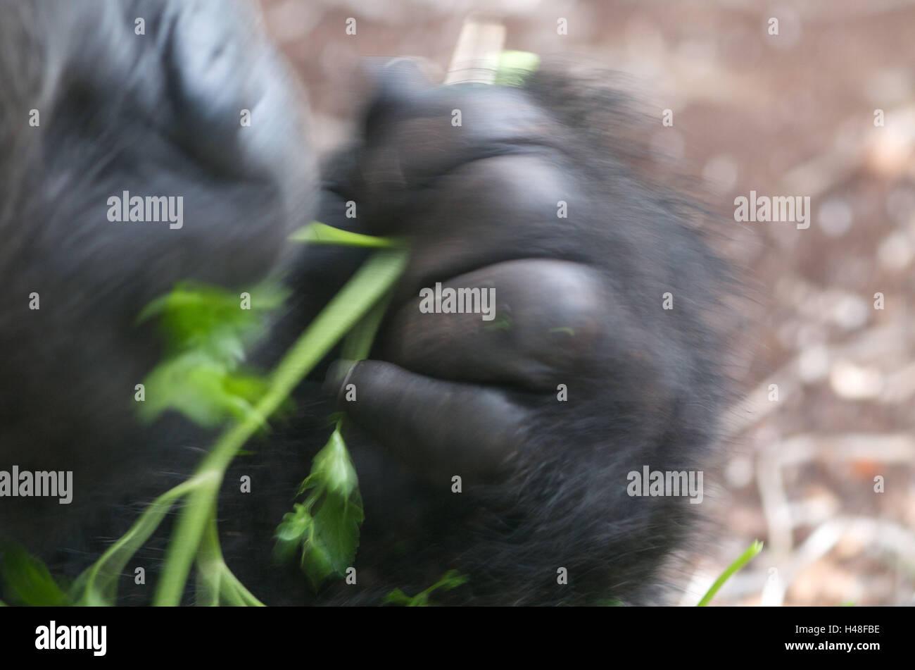 Gorilla, eat, medium close-up, blurs, Stock Photo