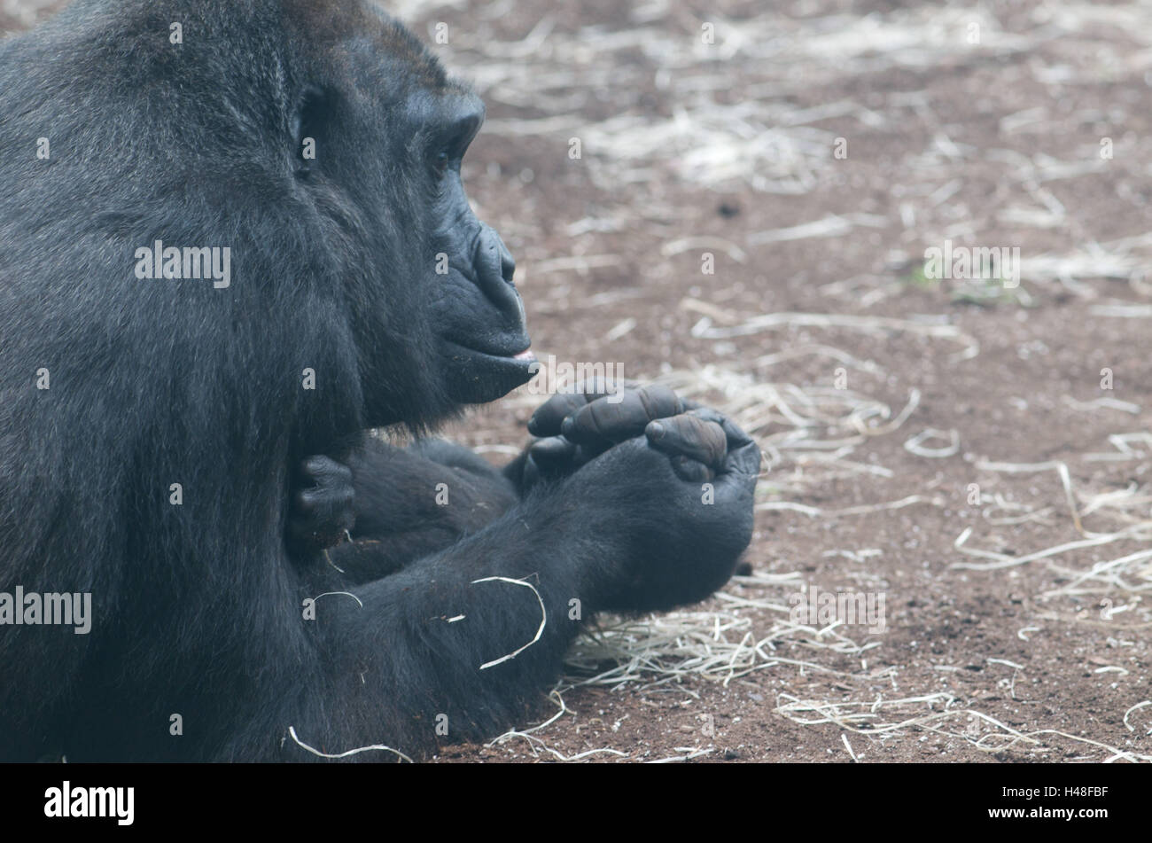 Gorillas, mother animal, young animal, hand hold, medium close-up, detail, - Stock Image