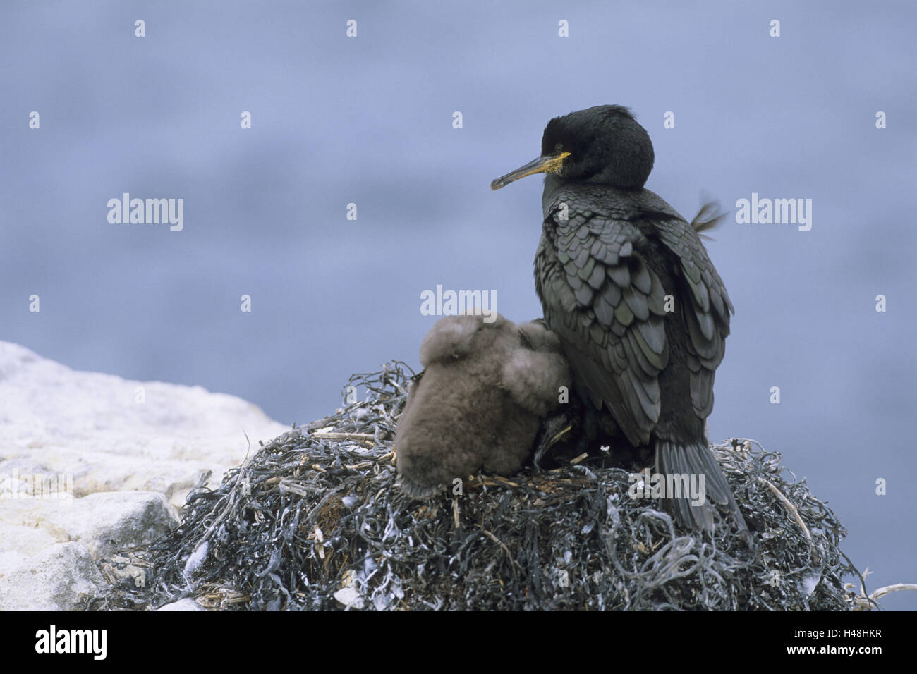 Shag, Phalacrocorax aristotelis, young birds, nest, hatch, ferns Iceland, Great Britain, - Stock Image