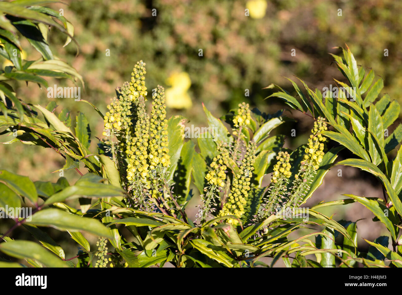 Narrow leaves and yellow early autumn flower spikes of the