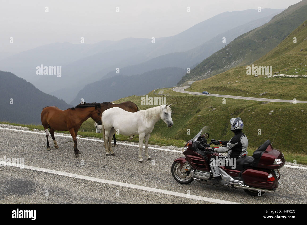 Motorcyclist, alp ambience, country road, travel motorcycle, horses on pavement, - Stock Image