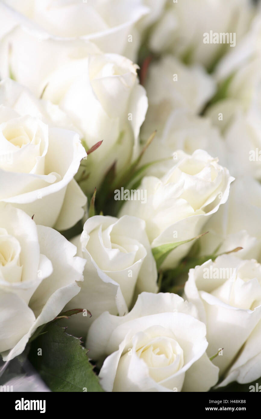 white rose petals, rose, pink, Rosaceae, - Stock Image