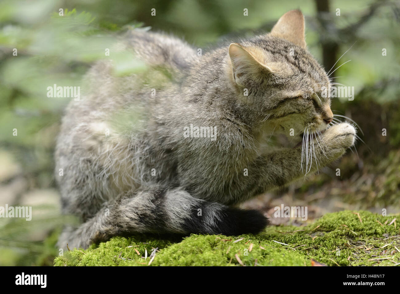Wildcat, paw, leak, - Stock Image