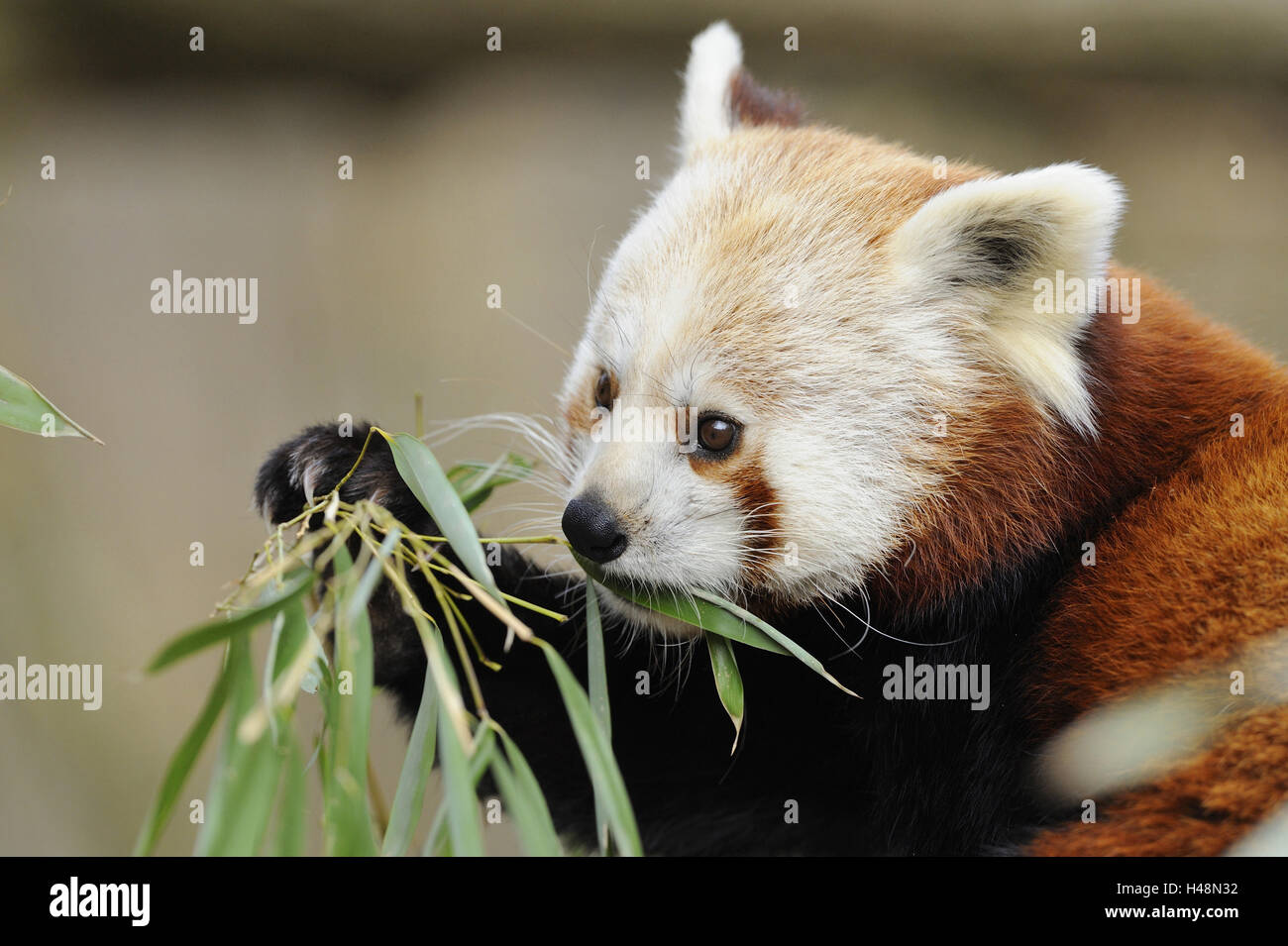 Red panda, portrait, eat, panda, cat's bear, bear's cat, golden dog, predator, land predator, mammal, wild - Stock Image