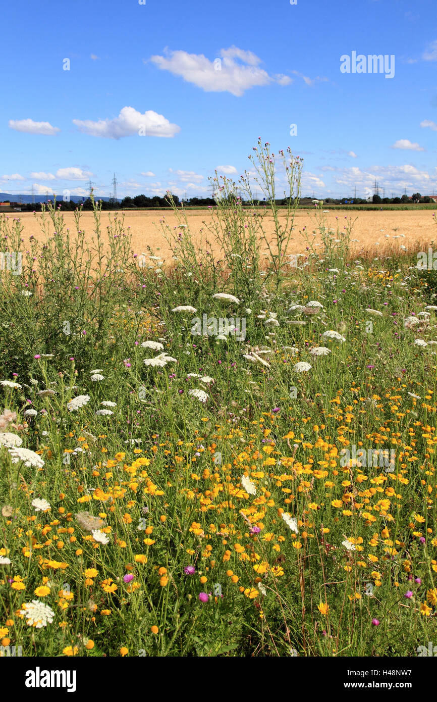 Meadow margin in summer, - Stock Image