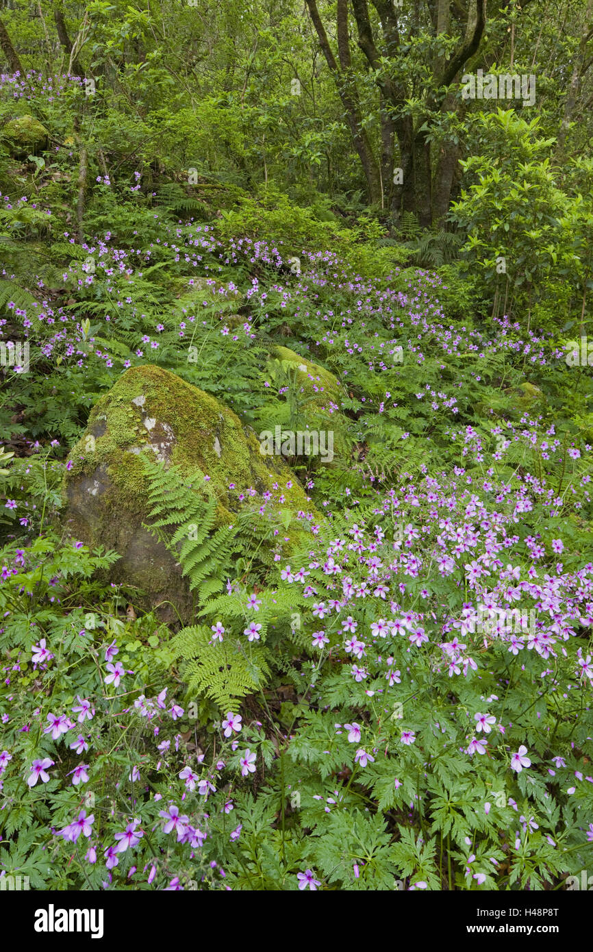 Forest flowers and moss-overcast stone with Caldeirao Verde, Queimados, Madeira, Portugal, Stock Photo