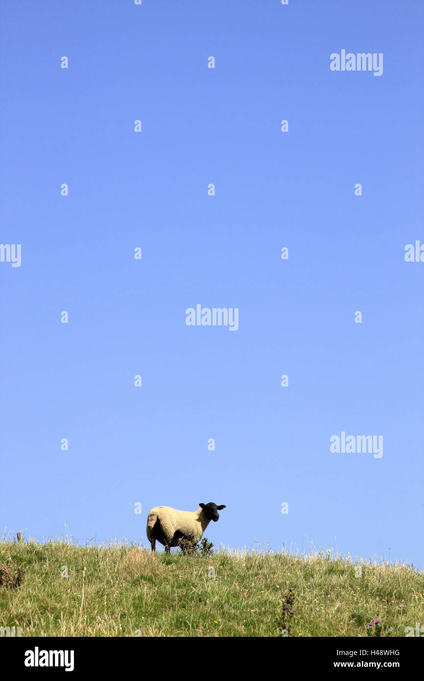 UK, Devon, meadow, black-headed sheep, England, animal, mammal, livestock, Ssheep breed, sheep farming, agriculture, - Stock Image