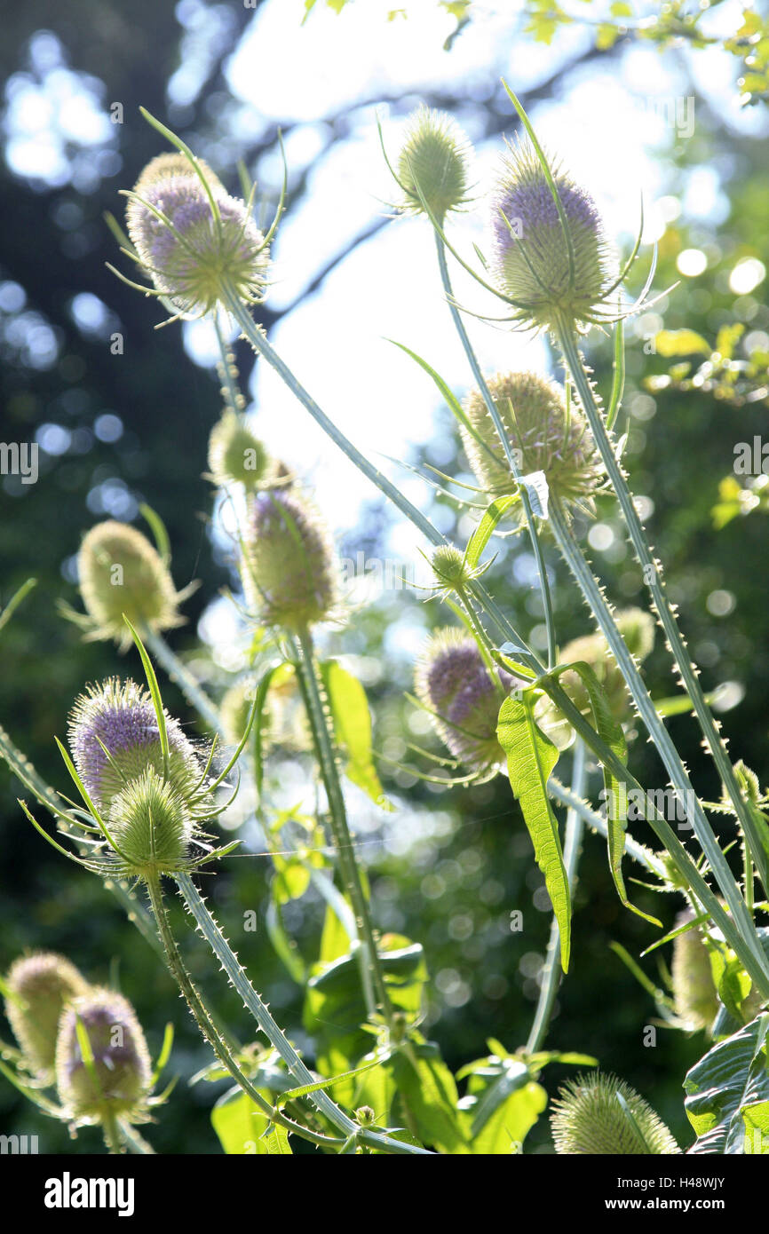 Thistles, back light, plants, composites, flowers, nature, icon, spiny, buds, blossom, summer, - Stock Image