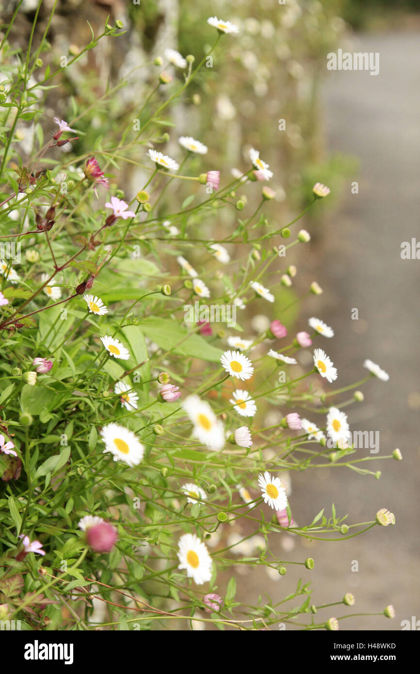 More poorly, daisies, natural stone defensive wall, plants, flowers, blossom, nature, summer, - Stock Image