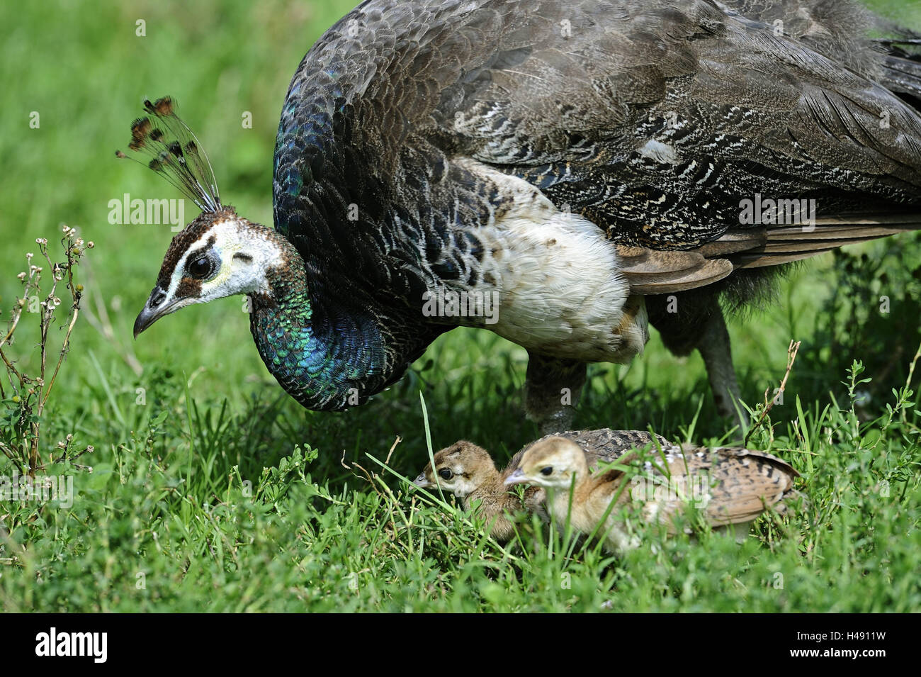 Peacock, Pavo cristatus, mother animal, chick, eat, side view, meadow, Germany, habitat, gallinaceous birds, animals, - Stock Image
