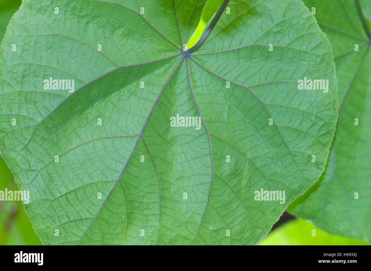Leaves, veins, Dombeya wallichii, medium close-up, - Stock Image