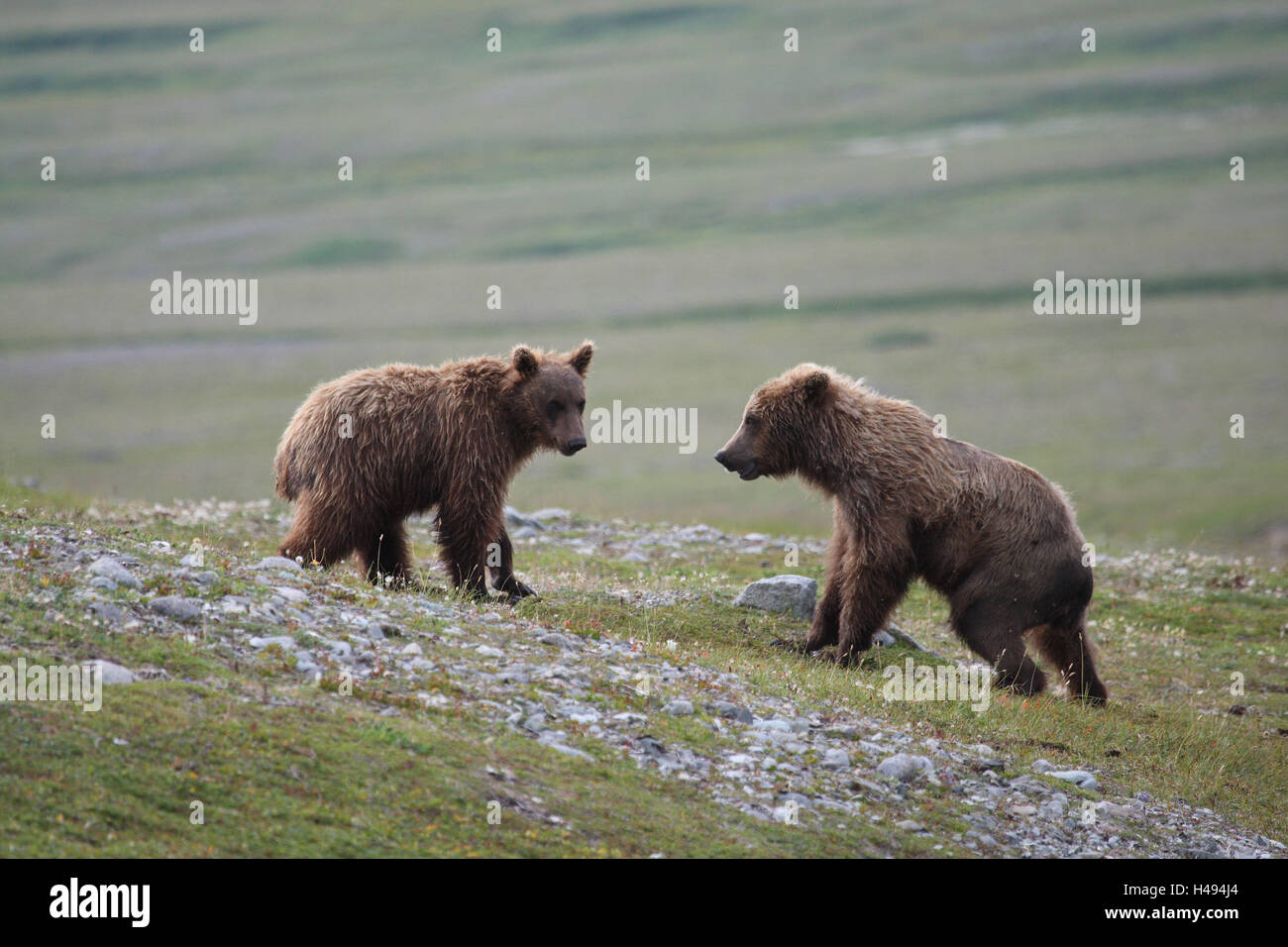 Grizzly bears, young animals, two, meadow, play, - Stock Image