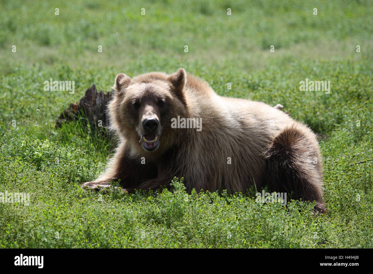 Grizzly, grass, lie, - Stock Image