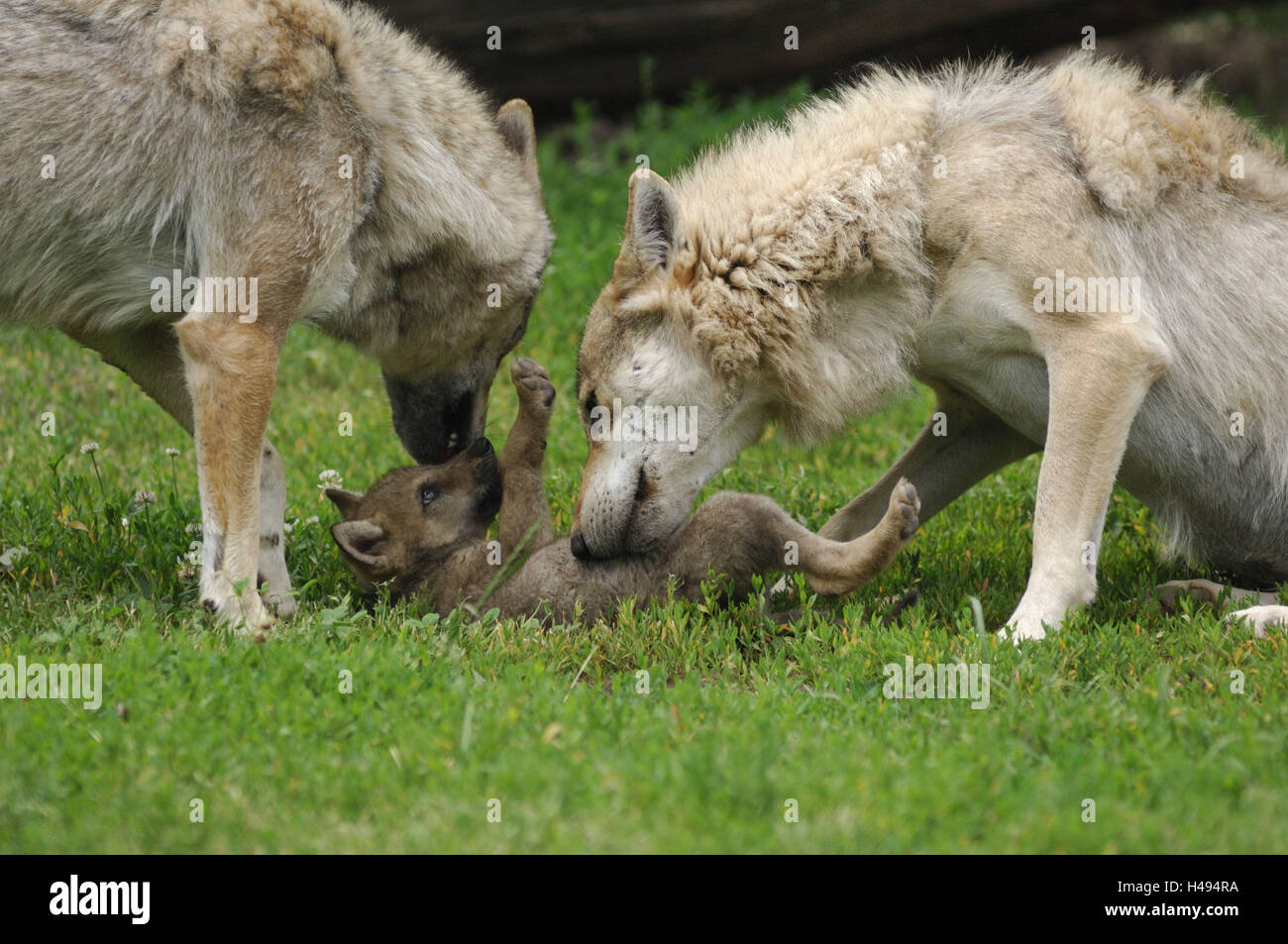 Wolves, Canis lupus, parental animals, young animal, - Stock Image