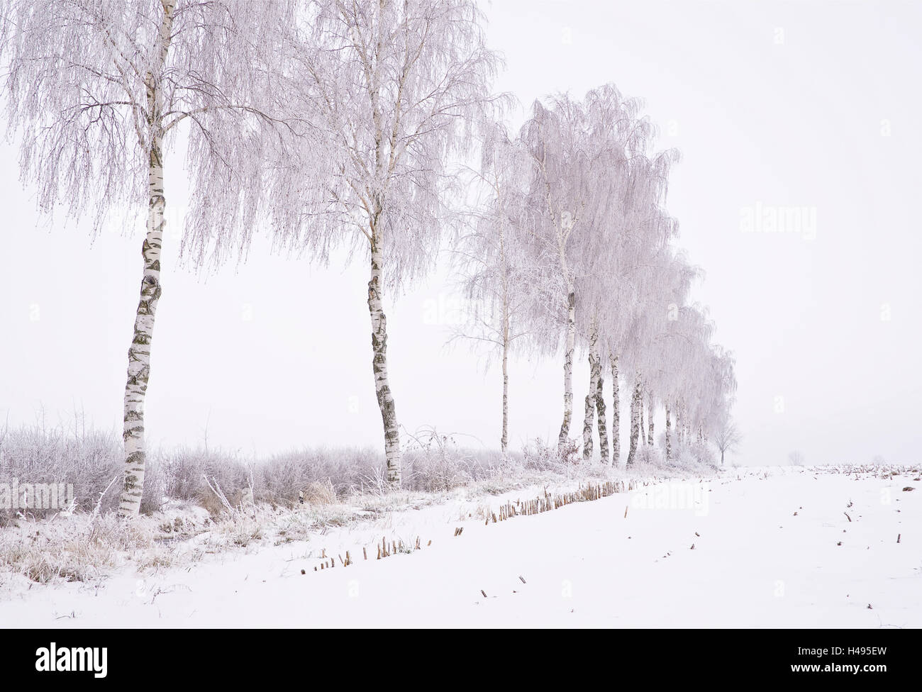 Birch trees in a row, winter, - Stock Image