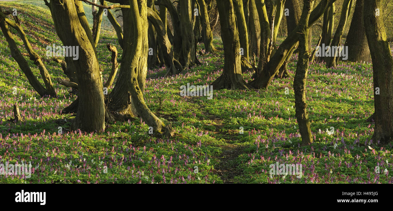 Forest with hollowroot in the spring, Germany, North Rhine-Westphalia, Troisdorf, Wahner moor, Stock Photo