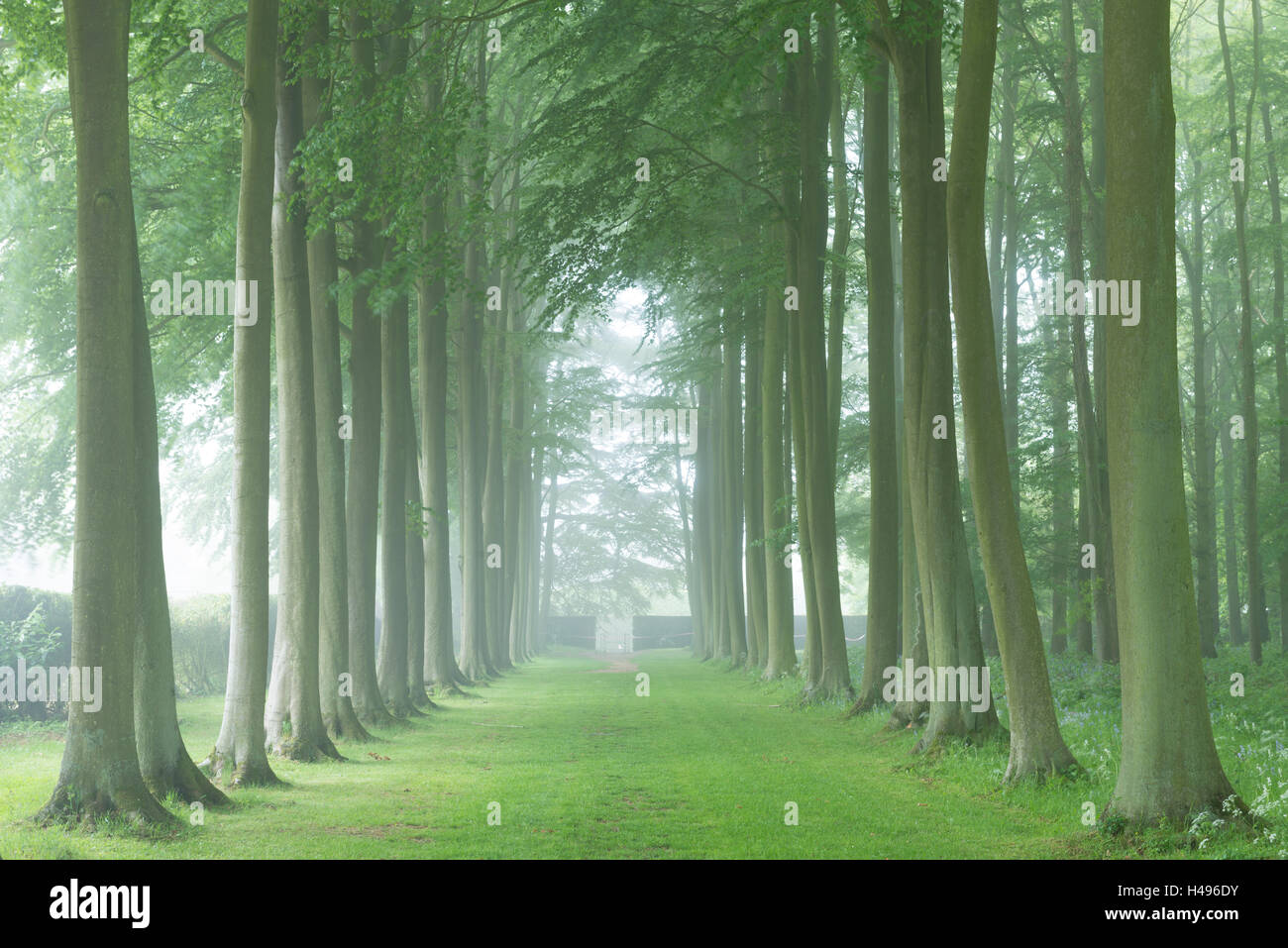 Beech tree avenue in morning mist, Cotswolds, Gloucestershire, England. Summer 2013 - Stock Image