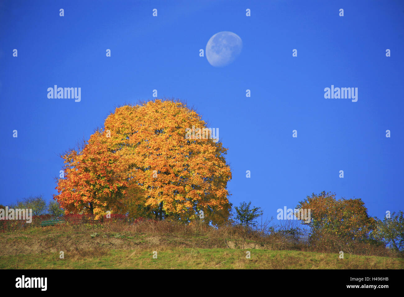 Moon about a radiant yellow tinted maple tree, - Stock Image