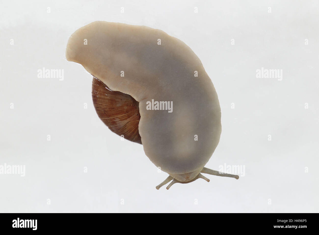 Escargot, Edible snail, from below, - Stock Image