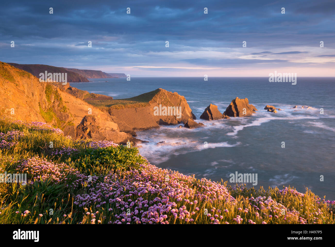 Beautiful sea pink wildflowers on the clifftops above Screda Point, Hartland Quay, North Devon, England. Spring - Stock Image