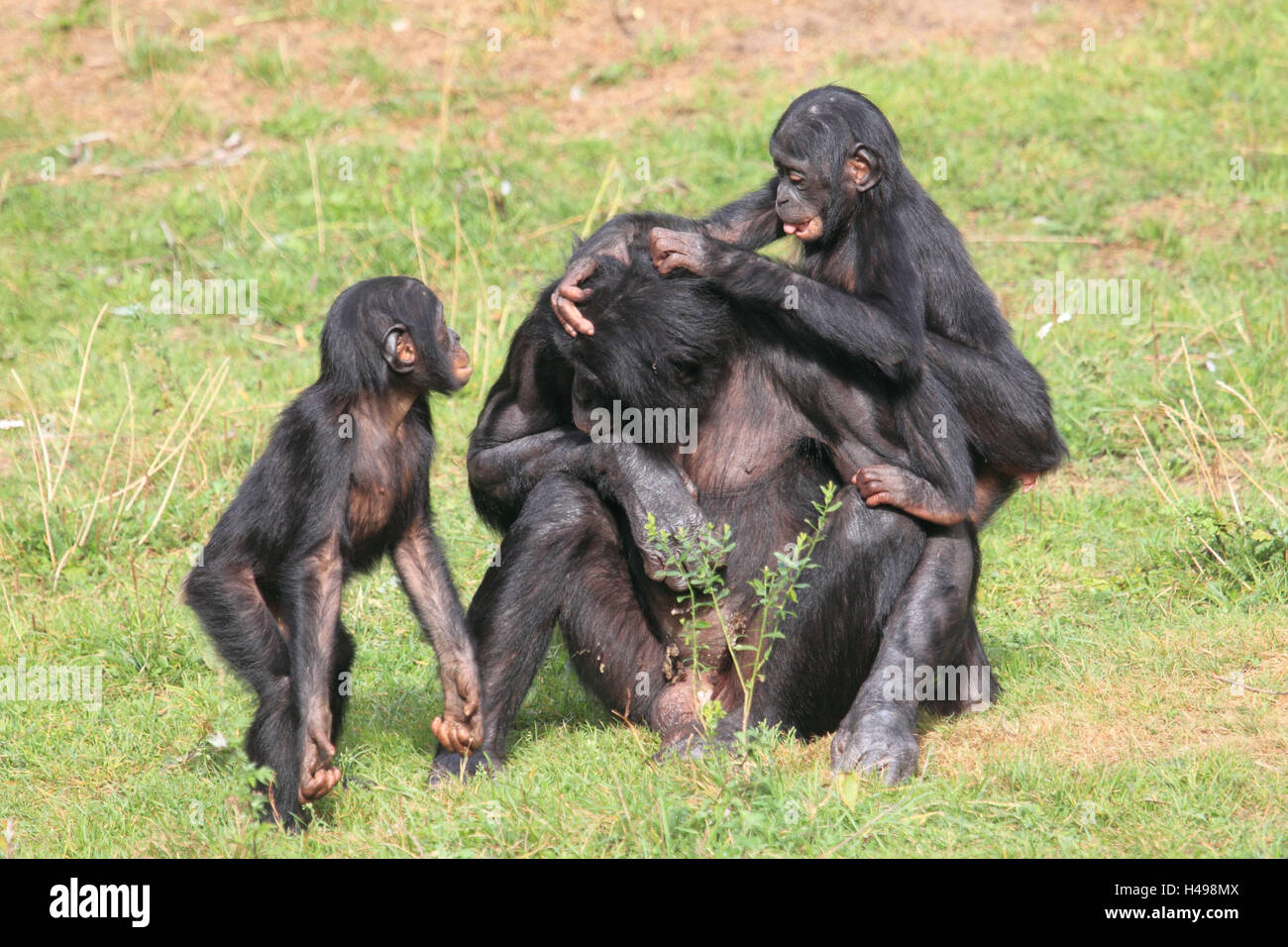 Bonobo with two young animals, - Stock Image