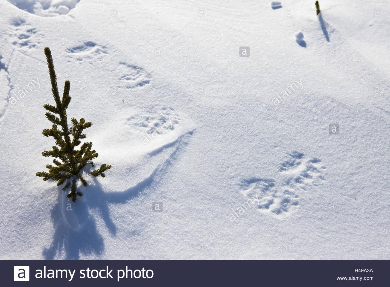 Polar bear tracks, snow, - Stock Image