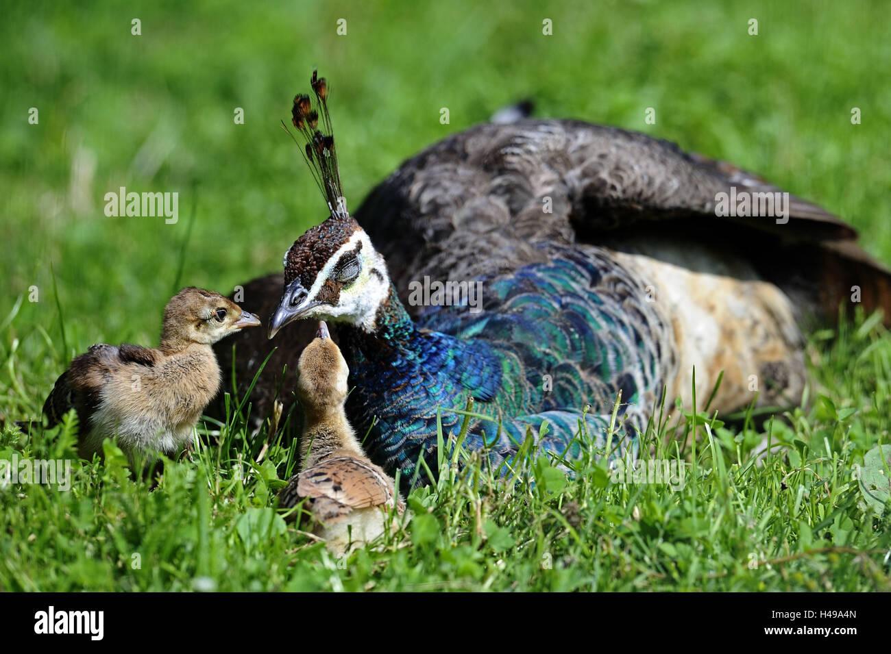 Peacock, Pavo cristatus, mother animal, rest, fledglings, meadow, Germany, habitat, gallinaceous birds, animals, - Stock Image