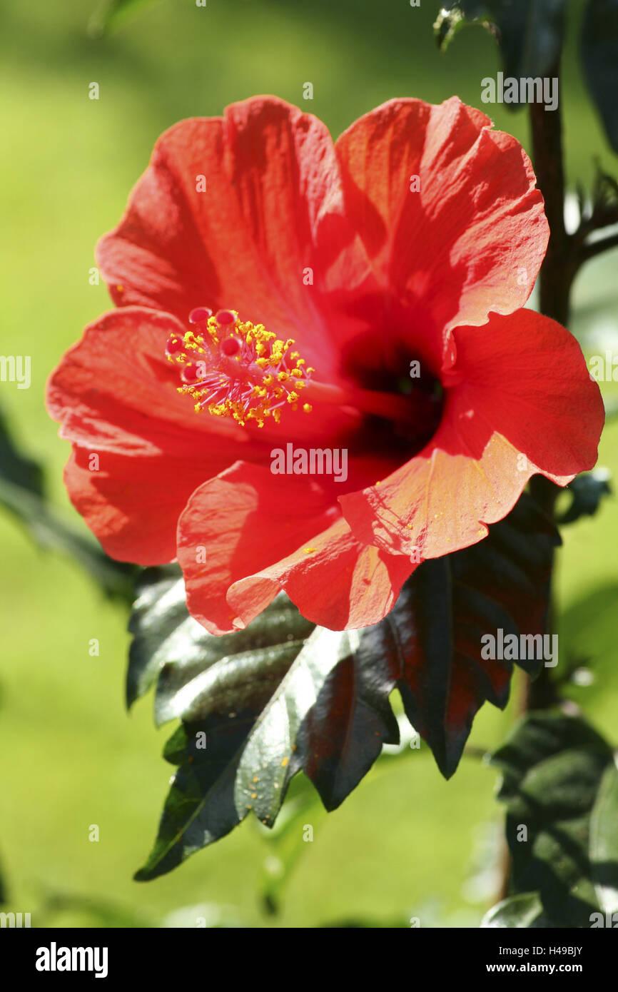 Hibiscus Flower Petals Stamen Hibiscus Stock Photo 123137923 Alamy