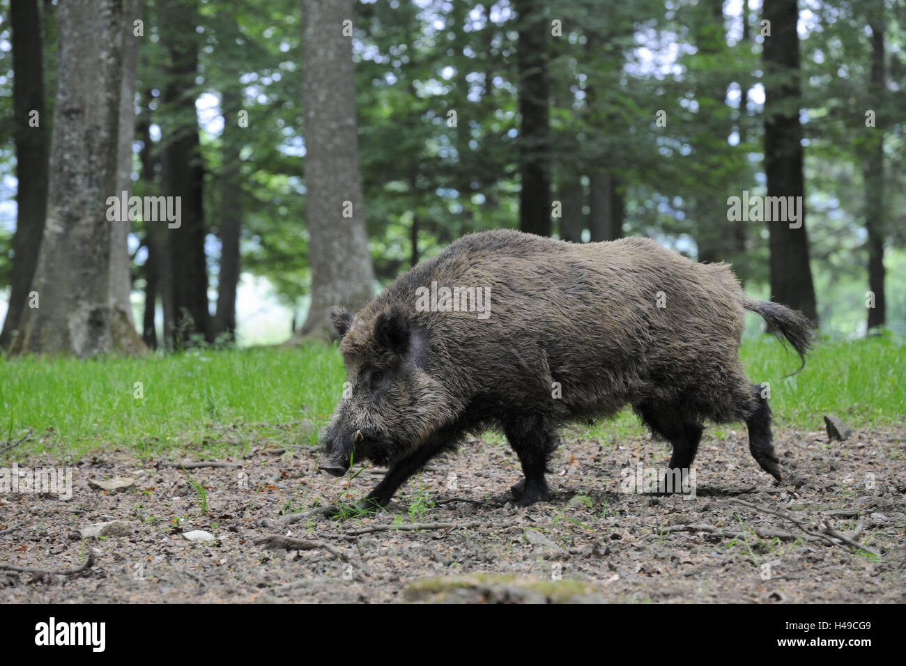 boar, side view, Sus scrofa, search for food, - Stock Image