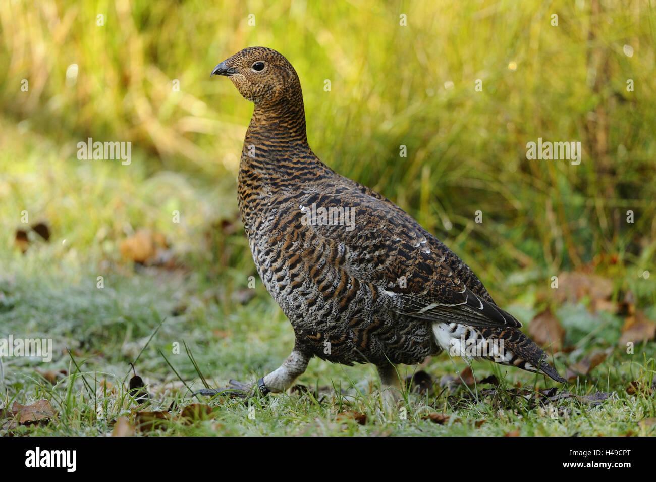 Black grouse, Lyrurus tetrix, hen, - Stock Image