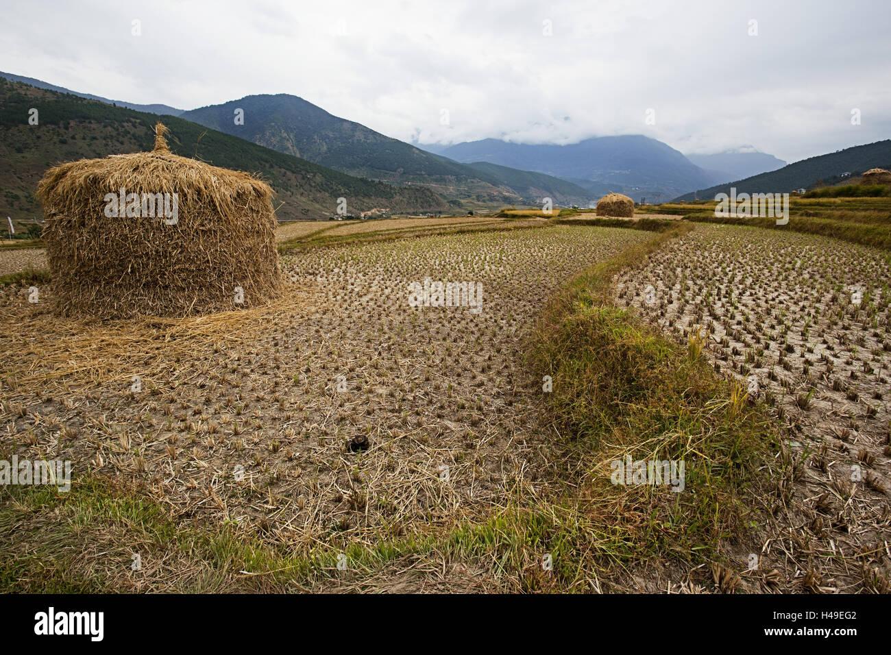 Kingdom Bhutan, rice field, - Stock Image